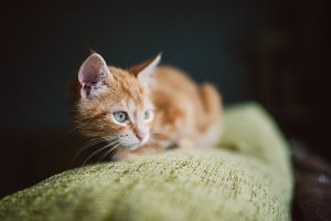 Ginger kitten on the top of a couch