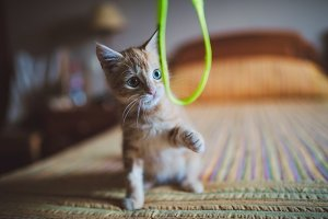 Orange kitten playing with a rope
