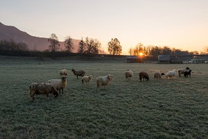 Sunrise at the meadow with sheep