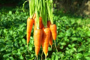 Bunch of carrots
