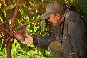 Farmer with cacao pod