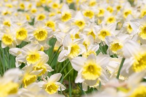 Field of beautiful white narcissuses