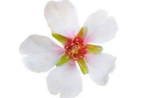 Almond white flower