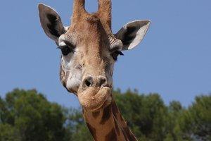 Giraffe laughs. Close-up.