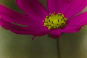 Macro pink cosmea