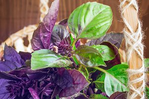 Green and purple basil in a basket