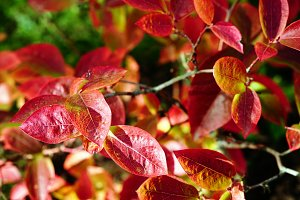 Highbush blueberry colored leaves