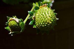 Macro unripe strawberry