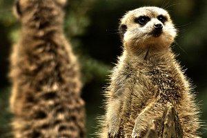 A Curious Meerkat