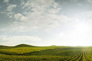 grape rows