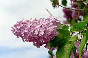 Violet lilac flower
