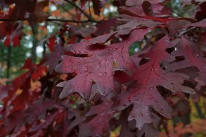 Red autumn leaf oak.