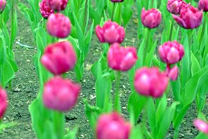 Fower bed of pink tulips