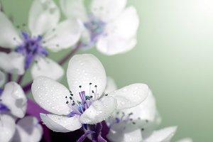 cherry twig flower