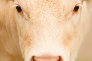 Portrait of a cow blond hair