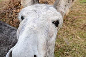 Comic Portrait of a donkey