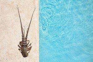 Rock lobster sea background