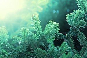 Fir green branch