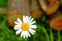 Macro of daisy