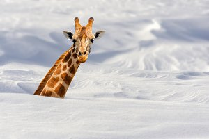Giraffe in snow