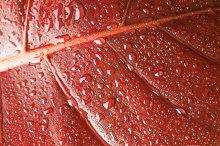 red autumn leaf background