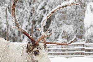 Lapland reindeer portrait