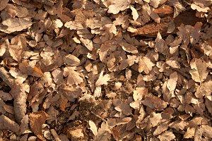 Leaf Litter - Oak Leaves
