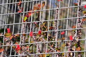 flowers and thorns among bars
