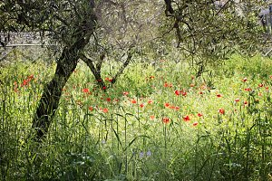 Ancient Olive Groves
