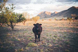 Chance encounter with cow in desert