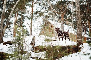 Brown labrador dog among winter