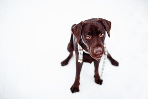 Pretty brown Labrador Retriever