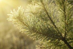 Pine sunny tree