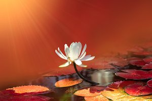 water lily on red pond