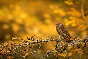 Scops owl sitting on branch