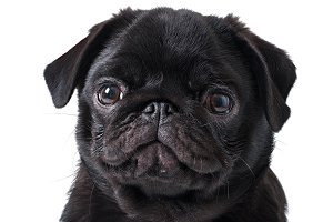Young black dog pug posing