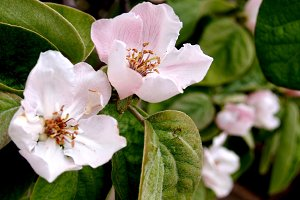 wild quince flowers