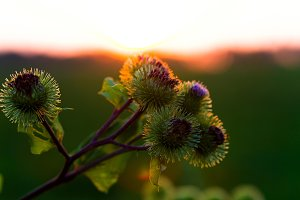 Flowers thistles at sunset background