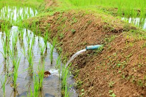 water for rice plant