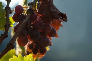 Backlit Grapes