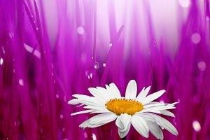 chamomile in blur background