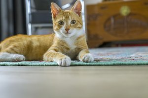 Red kitten on rug