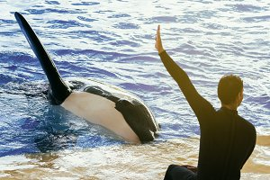 Captive killer whale and his trainer