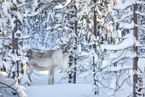 Young reindeer in snowy forest