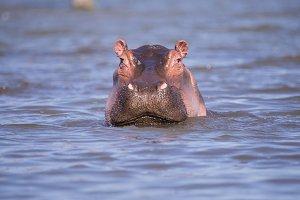 hippopotamus in lake naivasha