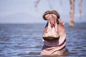 hippopotamus in lake naivasha kenya