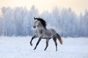 Andalusian horse runs on snow