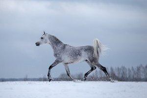 Arabian horse runs in wintertime