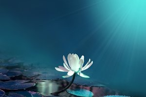 water lily on blue pond