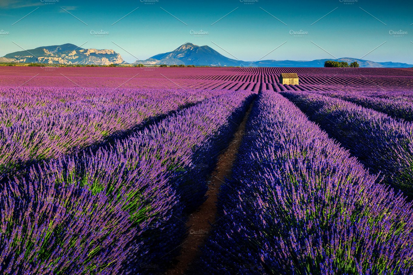 Amazing lavender fields in provence nature photos for Lavendelfelder provence